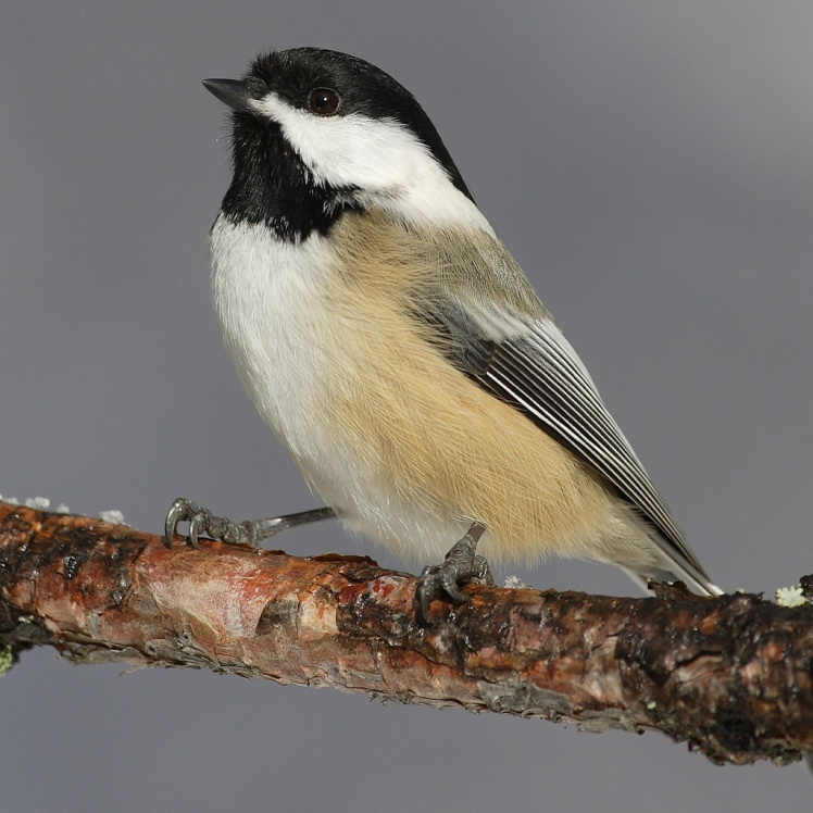 A black-capped chickadee